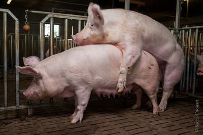 pigs procreation