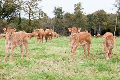 three calves with their mothers in background