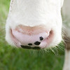 cow snout closeup