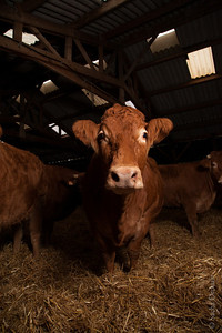 limousin cow in a stable