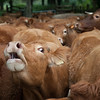 limousin cows bellowing