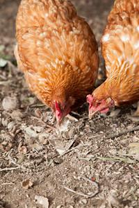 laying hen pecking