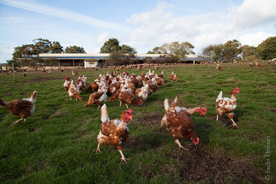 laying hens in a grass field with a construction in background