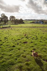 two hens in a grass field