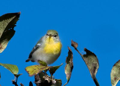 Northern Parula Warbler