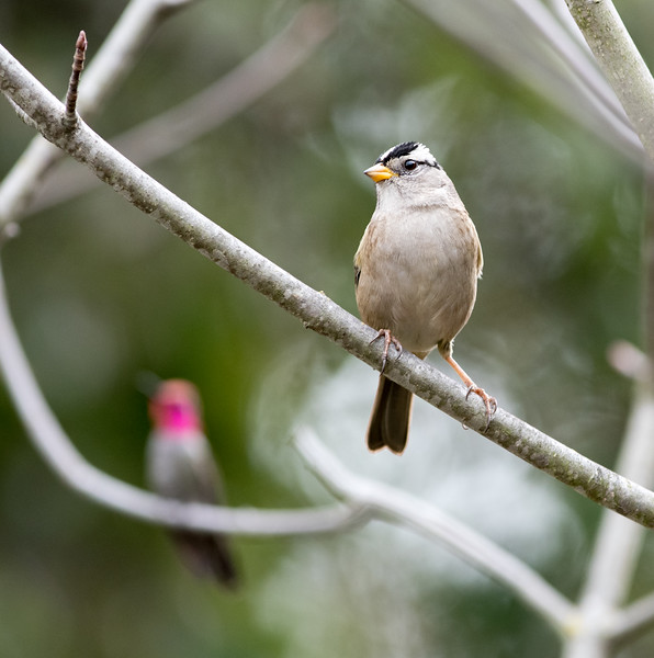 White-crowned Sparrow with Anna's Hummingbird