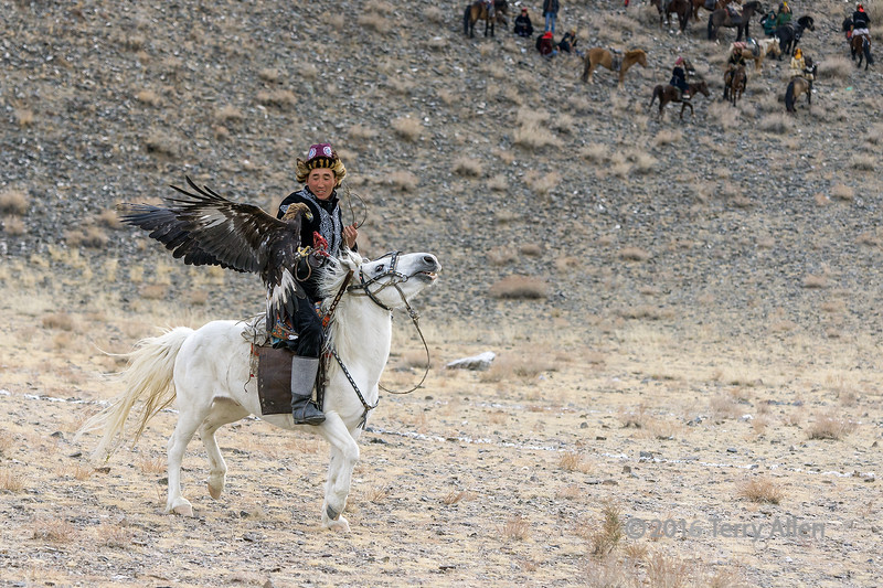 Golden egle returning to the lure, Eagle Festival, Olgii, Western Mongolia