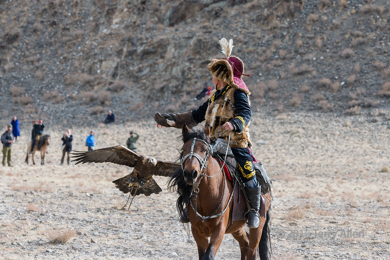 Golden eagle homing in on the lure 1, Eagle Festival, Olgii, Western Mongolia