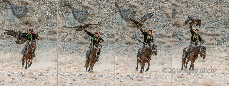 Young competitor luring his eagle, 4 frame collage, Eagle Festivel, Olgii, Western Mongolia (best full size)