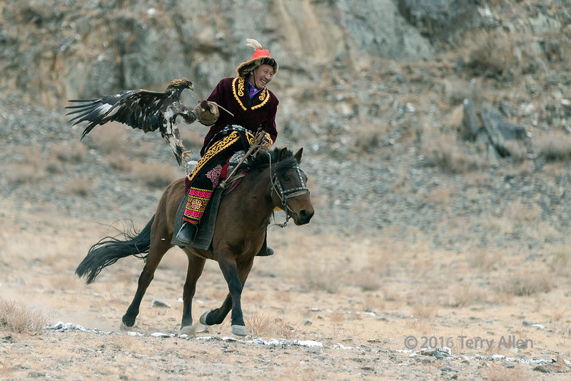 Golden eagle with one claw in the lure and one hanging free, Eagle Festival, Olgii, Western Mongolia