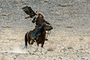 Golden eagle homing to eagle hunter holding a piece of rabbit meat, Eagle Festival, Olgii, Western Mongolia