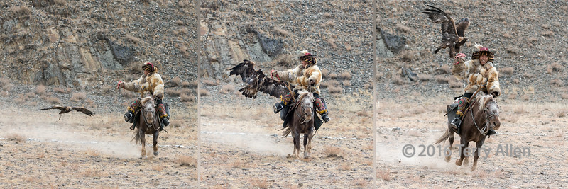 """Homing in on the lure (best larger)<br /> <br /> Another 3 shot collage of the competition where the golden eagle returns to its owner.  Eagle Festival, Olgii, Western Mongolia.  This guy has some great expressions.<br /> <br /> The individual shots can be seen here, showing more details at larger size: <br /> <br /> 14/07/15  <a href=""""http://www.allenfotowild.com"""">http://www.allenfotowild.com</a>"""