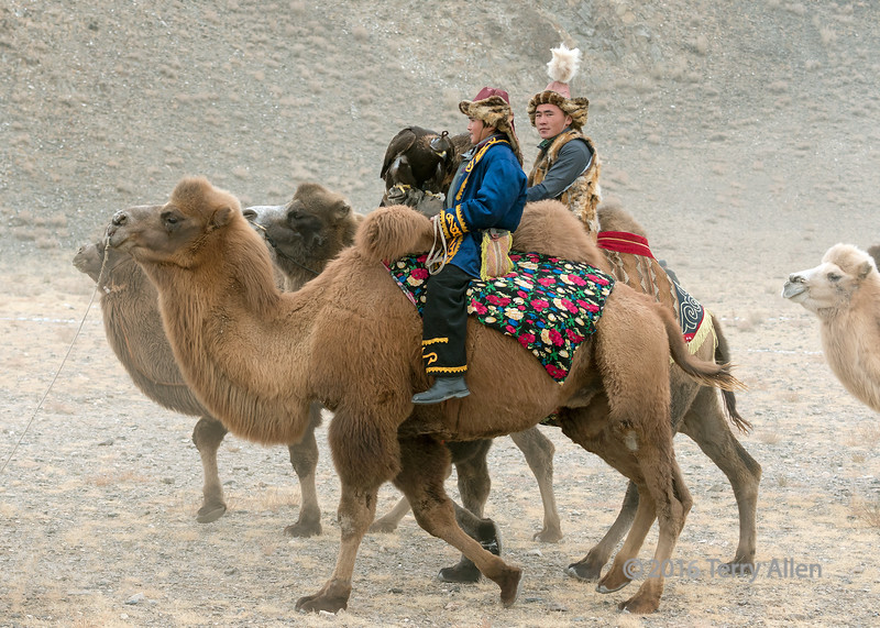 Bactrian camel riders with golden eagles, Eagle Festival, Olgii, Western Mongolia<br /> <br /> The Kazakh eagle hunters are normally mounted on horses, so I found it unusual to see eagles on some camels.