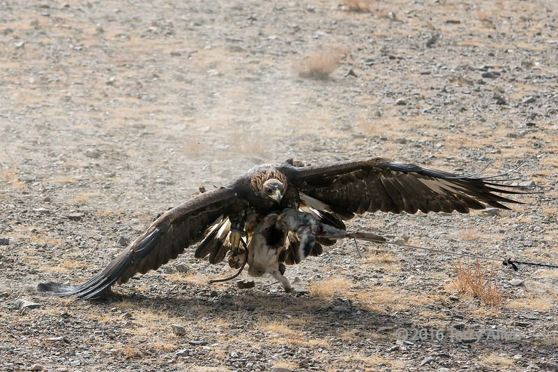 Golden eagle hitting the rabbit skin 3, Eagle Festival, Olgii, Mongolia<br /> <br /> The other claw has come up and it ready to latch on and one of her wings is hitting the ground.