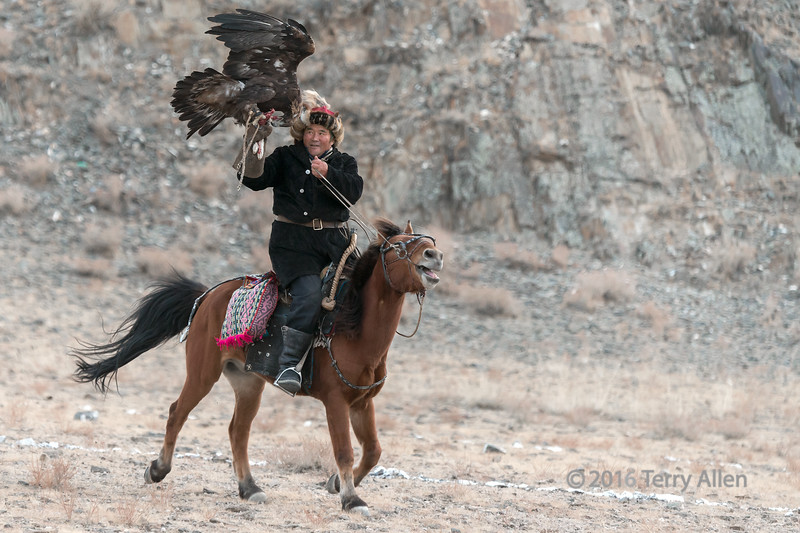 Golden eagle taking a bite from the lure. Eagle Festival, Olgii, Western Mongolia<br /> <br /> The eagles are trained from a young age to rely on the hunter to provide them with food, which is why they can be called to the hunter.  So the competition is based on the hunting traditions of the Kazakh herders who rely on the eagles to hunt rabbits and foxes in the winter for food and furs.