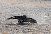 Golden eagle about to strike the lure with its talons, Eagle Festival, Olgii, Western Mongolia