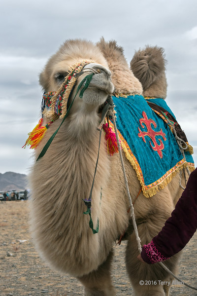 Bactrian racing camel, Eagle Festivel, Olgii, Western Mongolia