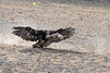 Golden eagle striking the lure and lifting it off the ground, Eagle Festival, Olgii, Western Mongolia