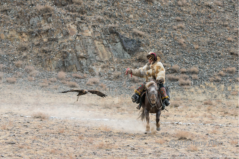 Competitor's golden eagle homing in on the lure #1, Eagle Festival, Olgii, Western Mongolia (best larger)