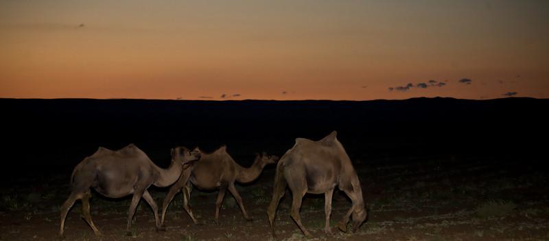 camels along the Gobi