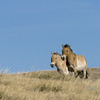 "Running free<br /> <br /> Mare and stallion, Przewalskii's horse, Hustai National Park, Mongolia<br /> <br /> After disappearing from the wild in the 1960s, this rare wild hose was reintroduced to the wild in 1992 and subsequently after breeding from a few captive individuals descended from wild animals captured around 1900.<br /> <br /> 04/09/15  <a href=""http://www.allenfotowild.com"">http://www.allenfotowild.com</a>"