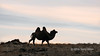 Bactrian camel at sunset, south of Tolbo Lake, Western Mongolia