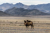 Lone Bactrian camel walking across the steppes south of Tolbo Lake, Western Mongolia