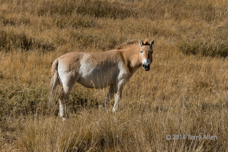 """Pryzwalski's horse<br /> <br /> It was a treat to see a herd of Pryzwalski's horses (Equus ferus przewalskii), also called takhi, a rare and endangered species of  wild horse from the steppes of Asia.  This photo is of a typical individual. <br /> <br /> The horses were first described by the explorer and naturalist Pryzwalski in1881. The horses went extinct in the wild around the mid-1960's, and was reintroduced to the wild in a large park outside Ulaanbaatar where they are protected around the clock from predation and from interbreeding with domestic horses.  The reintroduced stock was bred from a few captive individuals descended from animals captured from the wild around 1900.  It is a true wild horse that has never been domesticated, and the only wild horse still in existence (the wild mustangs in the USA are feral domestic horses).  It is stockier and has shorter legs than the domestic horse, with an erect mane and a thick neck.<br /> <br /> 12/10/14  <a href=""""http://www.allenfotowild.com"""">http://www.allenfotowild.com</a>"""