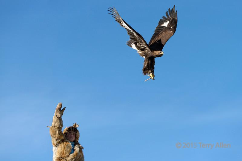 Kazakh eagle hunter releasng his golden eagle to hunt, Western Mongolia