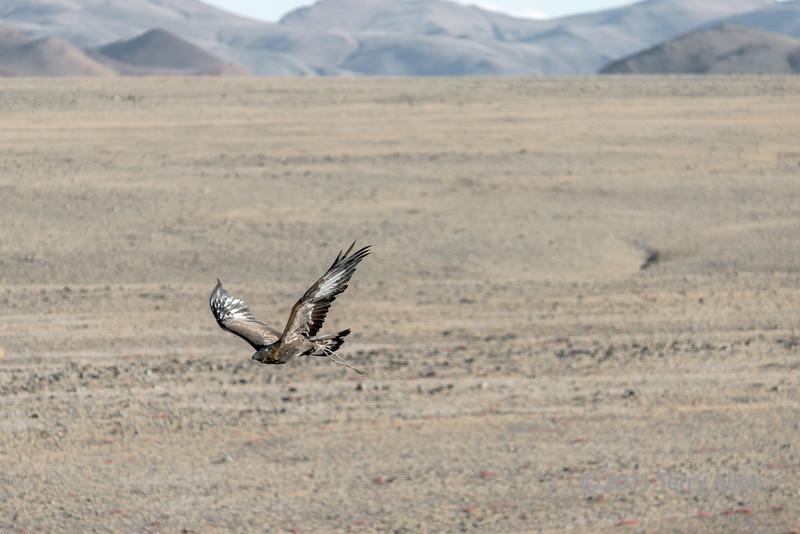 Kazakh tribesman's eagle hunting on the steppes, Western Mongolia