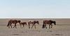 Mongol horse family