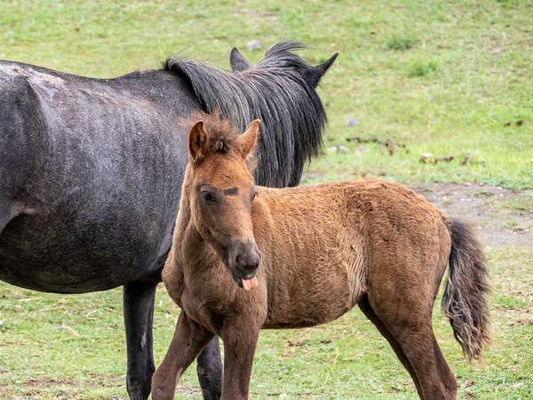 Mongol foal