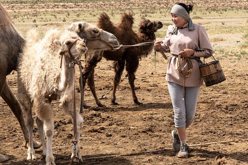 Preparing to milk a camel.