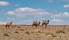 Walking camels