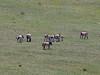 Takhi wild horses