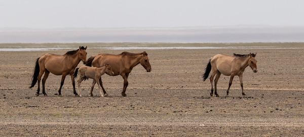 Horses in  the Gobi