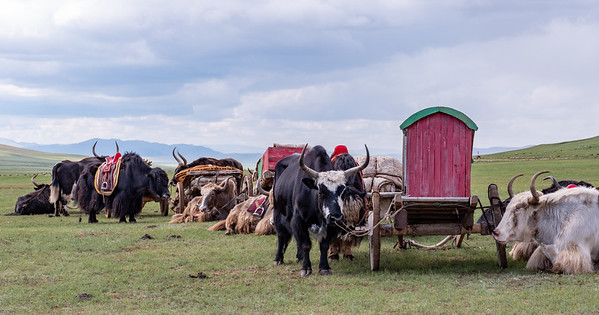 Yaks and carts