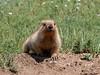 Tarbagan marmot