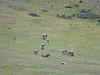Przewalski horses