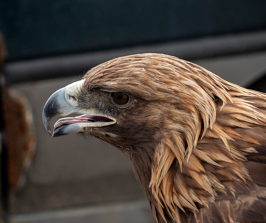 Captive golden eagle