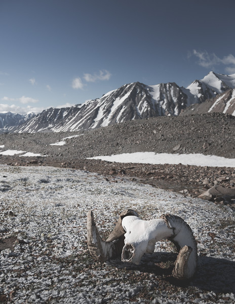 Sheep Skull in the Altai Mountains