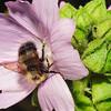 Bee on flower. Monhegan, ME