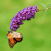 Monarch butterfly on purple flower. Monhegan, ME