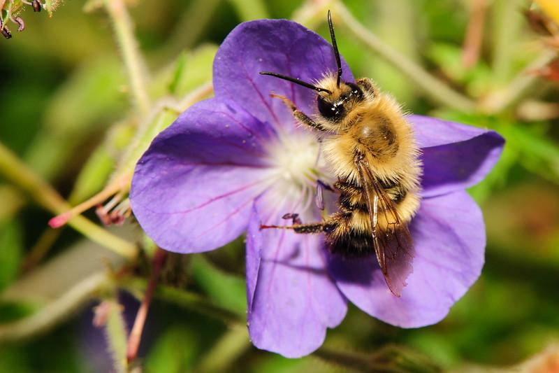 Bee on purple flower. Monhegan, Maine