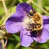 Bee on purple flower. Monhegan, Maine