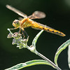 Dragonfly. Monhegan, ME