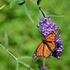 Monarch butterfly on purple flower. Monhegan, ME