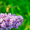 Dragonfly on purple flower. Monhegan, ME