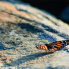 Monarch butterfly resting on the granite rocks of Pemaquid lighthouse. ME