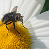 Fly on a Daisy. Monhegan, ME